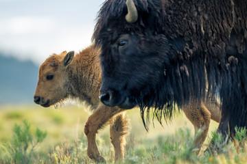 Bisonte femmina con cuccioli nel parco nazionale di Yellowstone in Wyoming, Stati Uniti d'America © macs