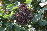 Elderberry in the forest - 216438955