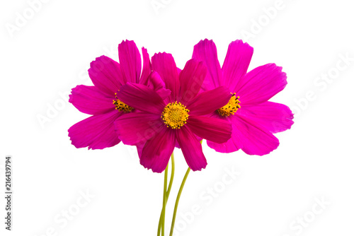red cosmos flowers isolated