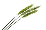 green ears of wheat isolated - 216441537