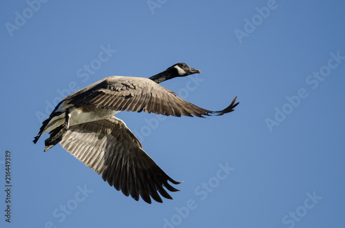 Foto Spatwand Canada Lone Canada Goose Flying in a Blue Sky