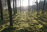 Fototapeta  - Drzewa, drzewa, drzewa... i słońce w lesie niedaleko Puszczy Białowieskiej w Polsce © Robert