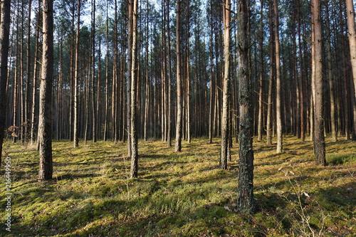 Foto Spatwand Zwart Drzewa, drzewa, drzewa... i słońce w lesie niedaleko Puszczy Białowieskiej w Polsce