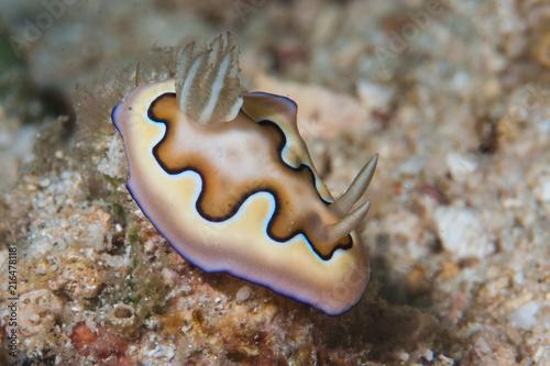 Plexiglas Bali Goniobranchus coi nudibranch