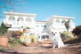 白い家屋と白いチワワ