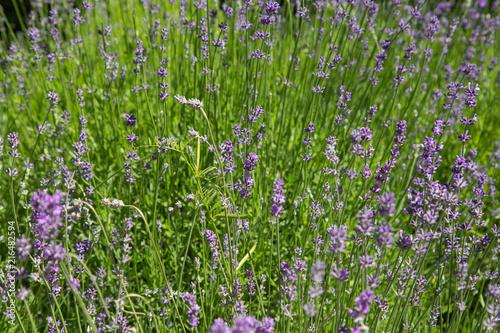 Foto Spatwand Lavendel Lavande