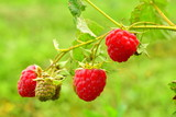 Red raspberry on a branch. Mature red berries, as well as green fruit on a branch. Uneven ripening of raspberries.