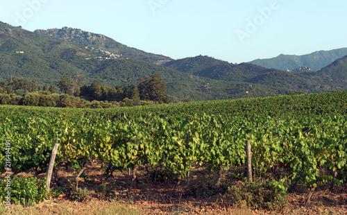 Foto Spatwand Wijngaard Corsican vineyards in Linguizetta plain
