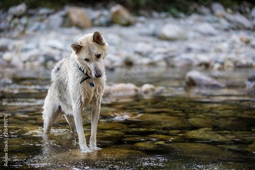 Aluminium Wolf cane husky siberiamn alaskan malamute in acqua nel torrente