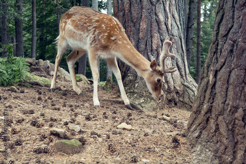 Aluminium Hert Little fallow deer in the forest, natural environment - Baby deer - Bambi, cute animal in the middle of the nature
