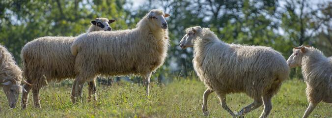 a sheep herd closeup on a meadow © Vera Kuttelvaserova