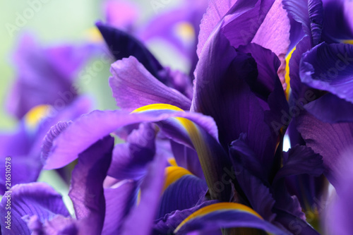 Canvas Iris Purple delicate iris flowers