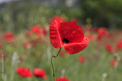 Red poppy blooms on a meadow - 216510746