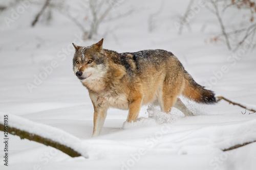 Aluminium Wolf Wolf (Canis lupus) im Winter im Tier-Freigelände im Nationalpark Bayrischer Wald, Deutschland.