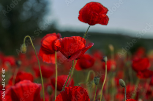 Canvas Rood paars Flowers Red poppies blossom on wild field. Beautiful field red poppies with selective focus. Red poppies in soft light. Opium poppy. Natural drugs. Glade of red poppies. Lonely poppy. Soft focus blur