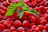 Lots of fresh harvested red ripe juicy sweet raspberry with green leaves on top. Background. Side view. Close up. Macro