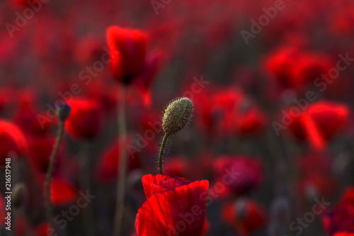 Canvas Bordeaux Flowers Red poppies blossom on wild field. Beautiful field red poppies with selective focus. Red poppies in soft light. Opium poppy. Glade of red poppies. Toning. Creative processing in dark low key