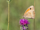 The meadow brown (Maniola jurtina) butterfly sitting on a  flower - 216520713