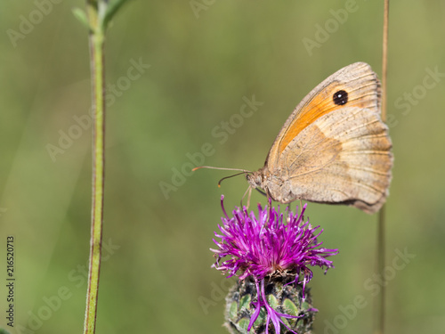 Foto Spatwand Vlinder The meadow brown (Maniola jurtina) butterfly sitting on a flower