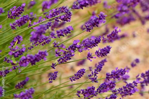 Foto Spatwand Lavendel Blooming lavender in garden (violet flowers)