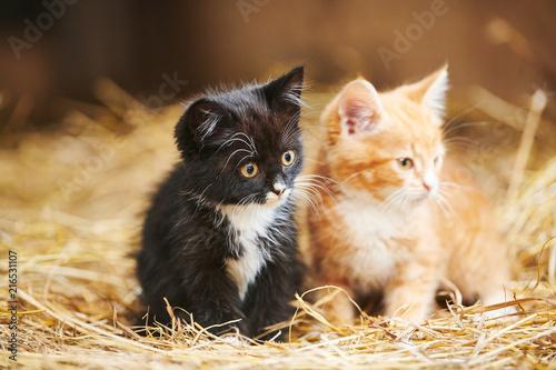 dwa kotka na siano. Czarny i czerwony