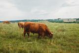 Scottish highland cows in field