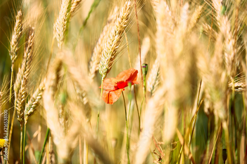 Foto Spatwand Klaprozen Flowers of red poppy on the wheat field