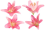 pink lilies on a white background.