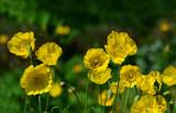 lila Allium