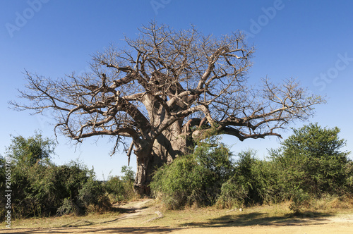 Foto Spatwand Baobab African baobab, Adansonia digitata / African Baobab in Namibia, Africa.