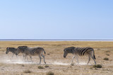 Group of zebras / Zebras in Etosha National Park, Namibia. - 216552526