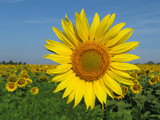 Blooming sunflower on clear blue sky background. Sunflowers field in sunny day, picturesque summer landscape