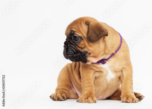 Canvas Franse bulldog French Bulldog puppy looks sideways