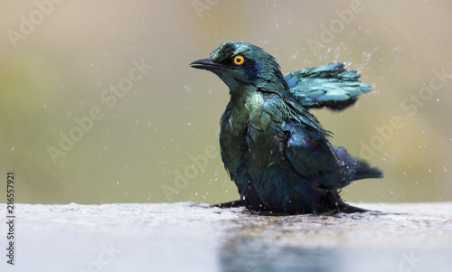 Leinwandbild Motiv Cape Glossy Starling bathe in shallow water pool on a hot day