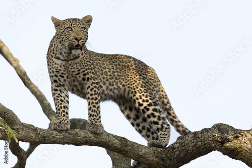 Plexiglas Panter Artistic conversion of a leopard in big tree with thick branches