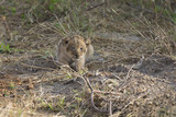 Small lion cub waiting alone for its mother to come
