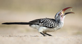 Red Billed Hornbill sitting on the ground catching eating crumbs