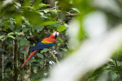 Foto Spatwand Papegaai Ara macao nella foresta