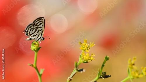 Canvas Vlinder Tarucus balkanicus 369