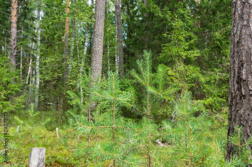 Plexiglas Berkenbos Summer birch and pine forest