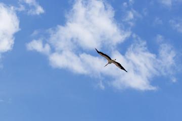 Storch über der Elbe