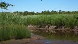 Salt Marsh Reeds Sway in Wind During Low Tide - 216575906