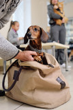 a funny dachshund dog peeks out of the bag in line for a medical examination in a veterinary clinic