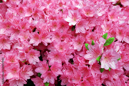 Canvas Azalea Close up of a blossoming rhododendron bush with pink flowers. A flower background