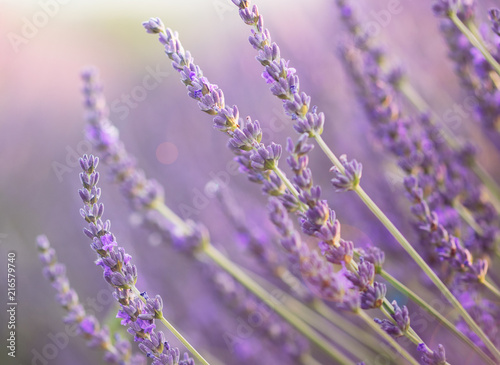 Foto Spatwand Lavendel Close up of lavender at sunset with lens flare