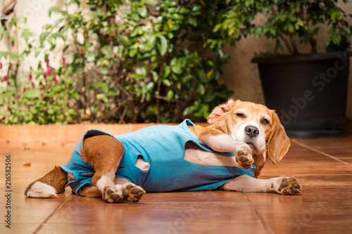 mata magnetyczna Dog with after-surgery cloth in garden