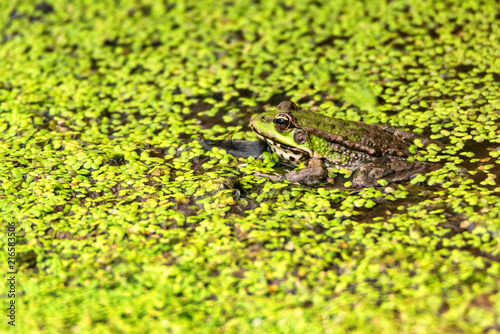 Foto Spatwand Kikker Frog sits in dirty water close