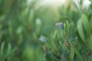Brownie, Lycaenidae resting on plant  © Henrik Larsson