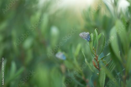 Foto Murales Brownie, Lycaenidae resting on plant