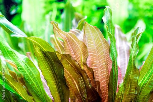 Leinwandbild Motiv Aquarium plants - Vallisneria gigantea and Vallisneria spiralis